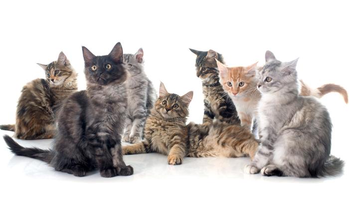 สายพันธุ์น้องแมว ที่น่าหลงใหลที่คนไทยนิยมเลี้ยง
