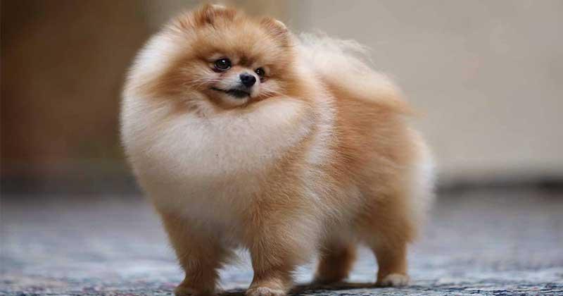 สุนัขพันธุ์เล็ก dog