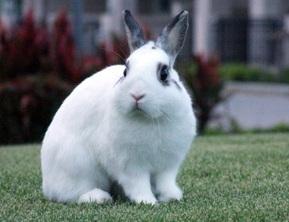 สายพันธุ์กระต่าย กระต่ายไทย ขนที่มีความสากมากกว่า และเป็นสายพันธุ์พื้นบ้านที่ได้รับความนิยม