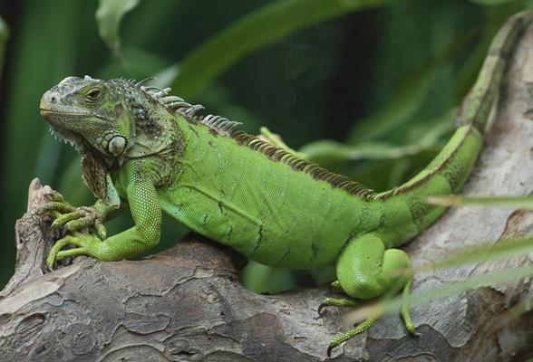 สายพันธุ์กิ้งก่า คือ กิ้งก่าอีกัวนา มีชื่อเรียกเป็นภาษาอังกฤษ ว่า Iguan เป็นสายพันธุ์ยอดนิยมที่เป็นที่นิยมนำมาเลี้ยงกัน