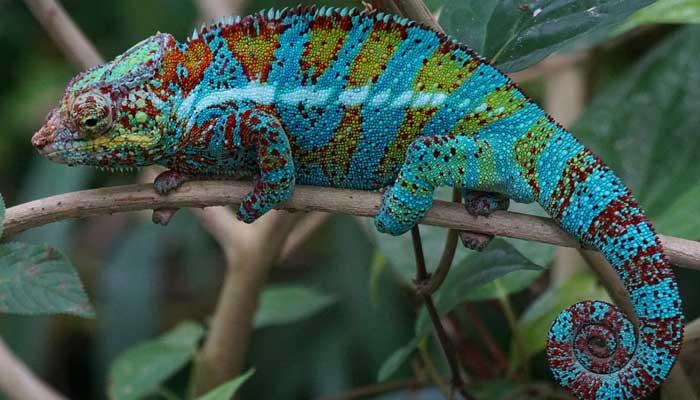 สายพันธุ์กิ้งก่า คือ กิ้งก่าเวลล์คามิเลียน มีชื่อภาษาอังกฤษว่า Veiled Chameleon เป็นสายพันธุ์กิ้งก่าที่เลี้ยงง่าย และมีสีสันที่สวยและงดงาม