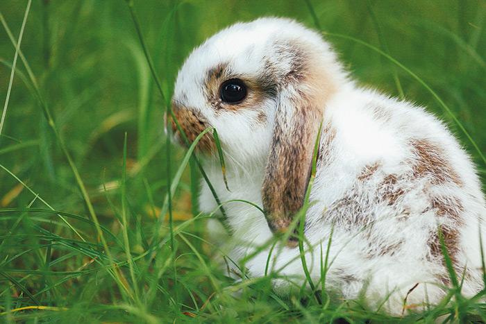 การเลี้ยงกระต่ายจะต้องระวังคือเรื่องใดบ้างให้ปลอดภัย