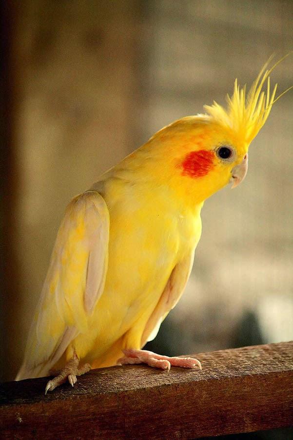 สายพันธุ์นกน่าเลี้ยง นกค๊อกคาเทล หรือ ชื่อภาษาอังกฤษว่า Cockatiel เป็นอีกสายพันธุ์นกที่มีขนาดเล็ก ตัวผู้จะมีหงอนยาว เป็นสัตว์ที่ค่อนข้างต้องการความรัก