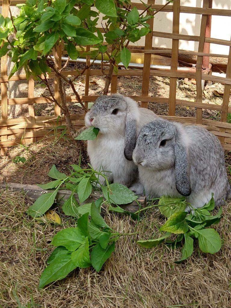 การเลี้ยงกระต่าย จำเป็นต้องรู้ว่า เพราะยังมีพืชผักบางชนิดที่ไม่เหมาะสม และก็ไม่ควรนำมาให้กระต่ายกิน เช่น ผักบุ้ง คะน้า