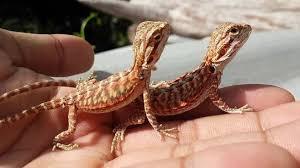 สายพันธุ์กิ้งก่า คือ มังกรเครา เบียร์ดราก้อน มีชื่อเรียกเป็นภาษาอังกฤษ ว่า Bearded Dragon มีความเลี้ยงง่าย และเชื่อง