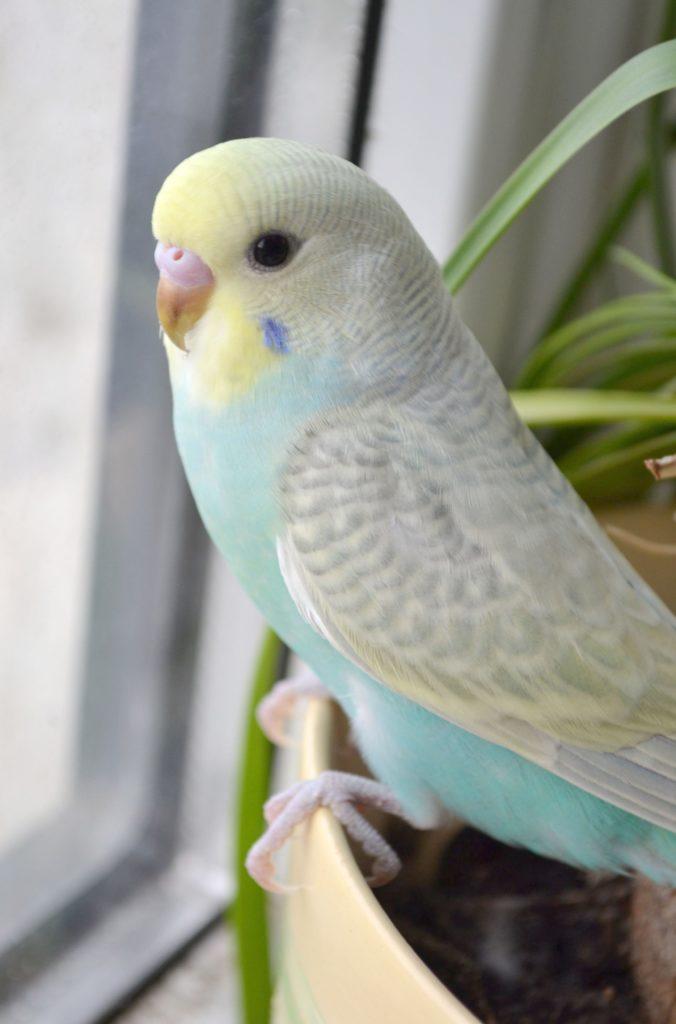 สายพันธุ์นก คือ นกหงส์หยก เป็นนกที่เป็นที่รู้จักดีในหมู่คนไทย ซึ่งมีลักษณะรูปร่างที่สวยงาม