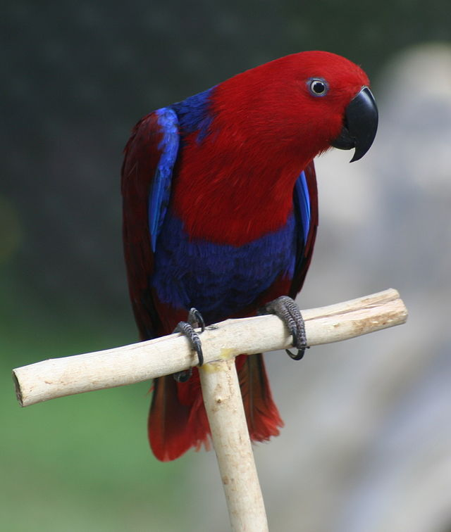 สายพันธุ์นก  คือ อีเล็กตัส เป็นนกที่เป็นที่นิยมอีกสายพันธุ์ที่มีจุดเด่นในเรื่องของสีสันที่สวยงาม