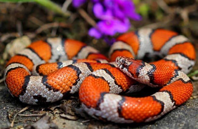 สายพันธุ์งู คือ Milk Snake มีลักษณะตัวค่อนข้างที่จะเรียวยาว มีสีสันที่สดใส
