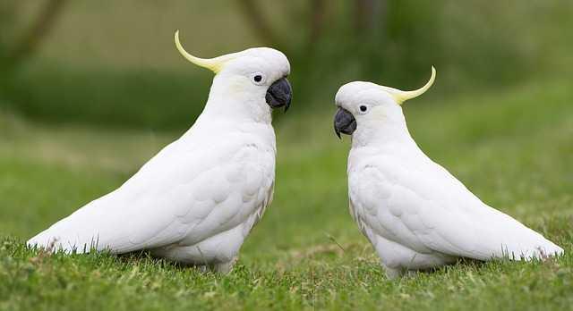 สายพันธุ์นก คือ นกกระตั้ว เป็นนกที่เป็นที่นิยม เพราะมีนิสัยที่ไม่ก้าวร้าว