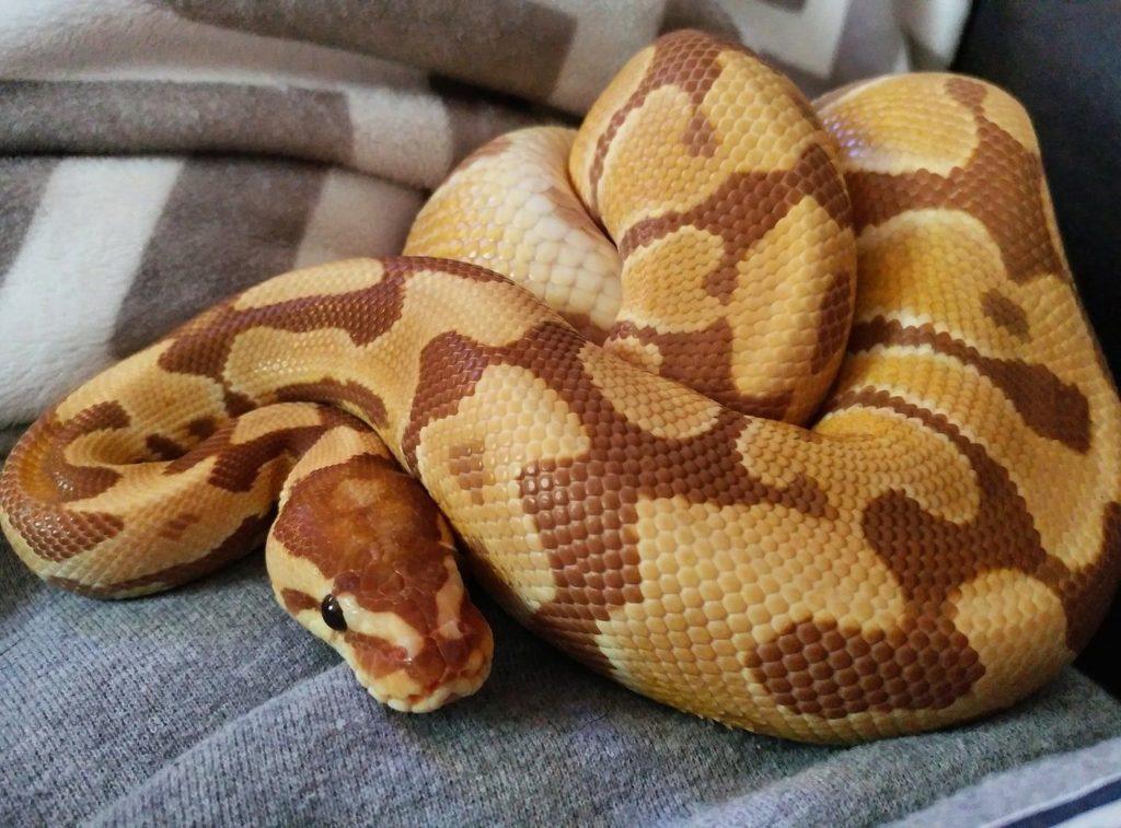 สายพันธุ์งู คือ Ball Python มีลักษณะลวดลายคล้ายกับลูกบอล จึงเป็นที่มาของชื่อ หรือที่รู้จักกันว่าเป็น งูหลามบอล
