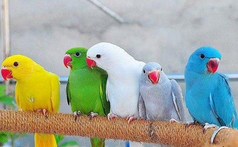 สายพันธุ์นก คือ นกแก้วโม่ง อินเดีย-ริงค์เน็ก เป็นสายพันธุ์ของนก เนื่องจากมีสีสันที่สวยงาม เชื่อง และสอนพูดได้