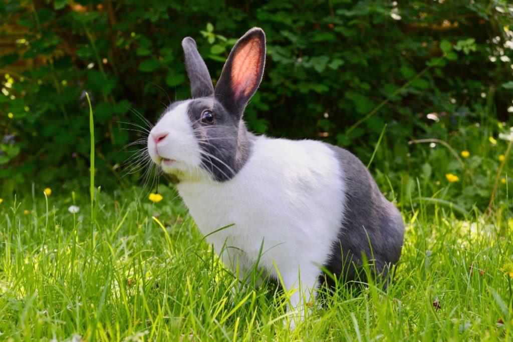 กระต่ายพื้นเมืองของประเทศไทยหรือที่เราเรียกว่ากระต่ายไทย จะมีรูปร่างที่ปราดเปรียวไม่ใหญ่มาก