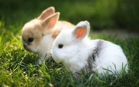 การเลี้ยงกระต่าย ผู้เลี้ยงก็ต้องศึกษาวิธีการเลี้ยงให้ดีเสียก่อนและคำนึงถึงความปลอดภัย