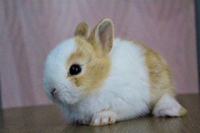 สายพันธุ์กระต่าย เนเธอแลนด์ดวอฟ รู้จักกันในนามกระต่ายแคระ มีเอกลักษณ์ที่ใบหู แต่เป็นลักษณะหูตั้งแต่สั้น