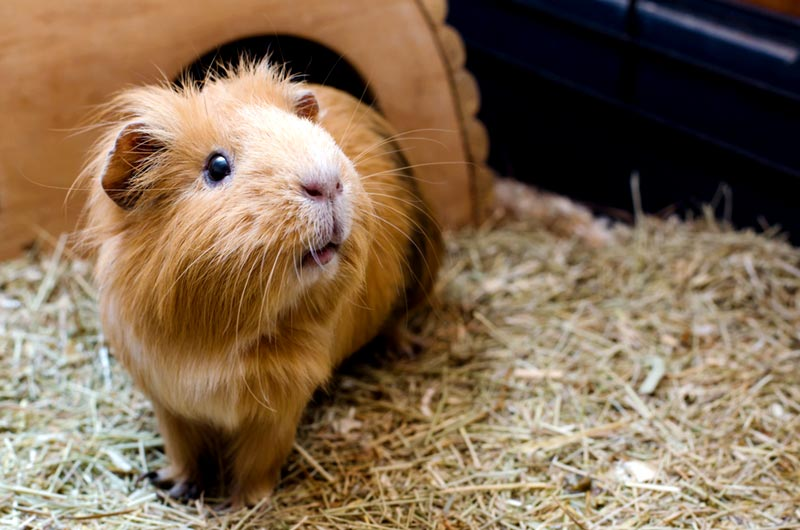 หนูแกสบี้สัตว์เลี้ยงขนาดที่เล็กกะทัดรัด แต่จะต้องมีความระมัดระวังในการเลี้ยงเป็นอย่างมาก เพราะโอกาสที่จะตายนั้นมีสูง