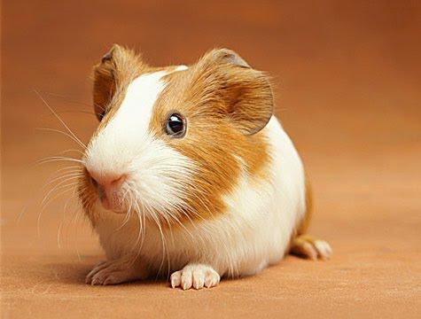 หนูแกสบี้ เป็นสัตว์เลี้ยงที่ฮิตมากๆ เพราะด้วยหน้าตา ขนและลวดลายบนตัวที่มีจึงทำให้หลายๆคนอยากเลี้ยง
