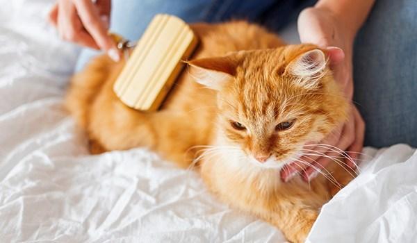 การแปรงขนแมว บ่อย ๆ ขนจะยิ่งเงา แวววาวสวยงามขึ้น นอกจากนี้ยังช่วยลดขนพันกัน และทำให้ขนนุ่มขึ้นด้วย
