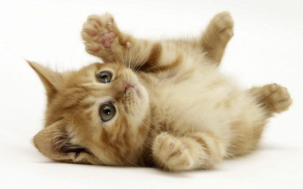 พฤติกรรมของแมว แมวมักจะชอบนอนแผ่หลาทำพุงกาง