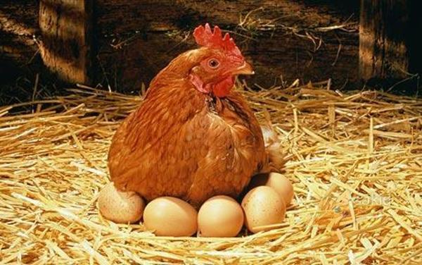 ประโยชน์ารเลี้ยงไก่ที่สร้างประโยชน์ให้กับผู้เลี้ยงอย่างแน่นอนเลย ก็คือ สามารถที่จะผลิตไข่