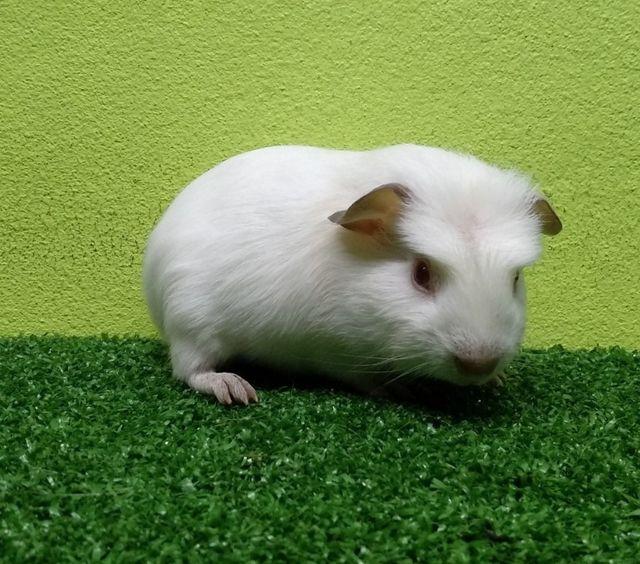 สายพันธุ์ของหนูแกสบี้ คือ American หรือ อเมริกัน เป็นสายพันธุ์ที่มีขนสั้นและเรียบ