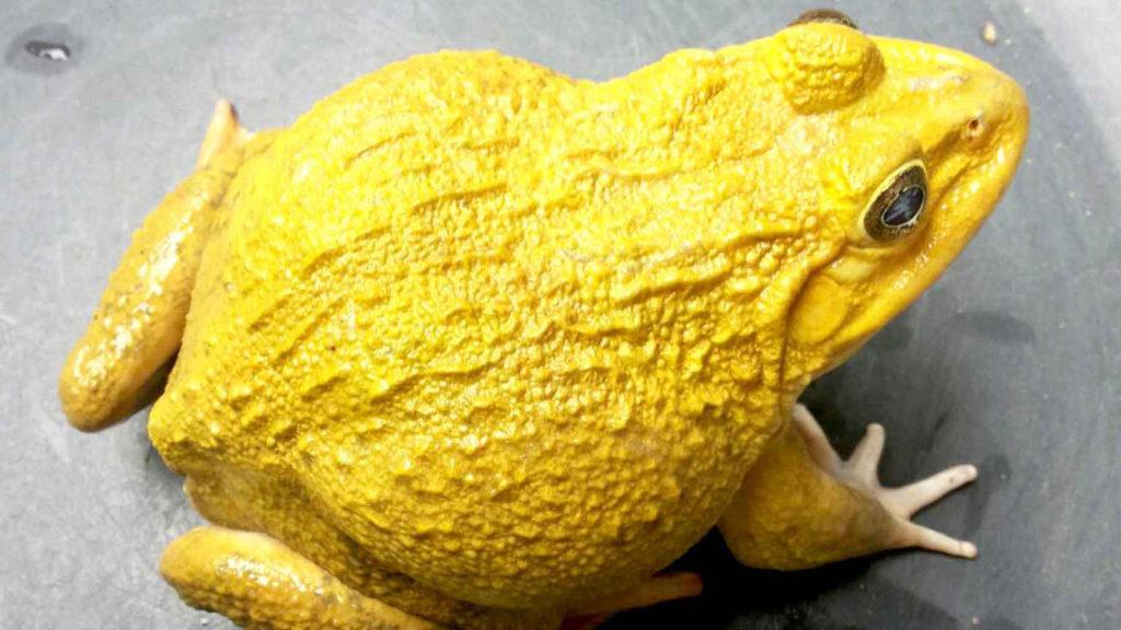 สายพันธุ์กบ คือ กบมาเลย์สีทอง เป็นกบที่มีรูปร่างใหญ่ ผิวมีความขรุขระเล็กน้อย ลักษณะของสีผิวของกบเป็นสีเหลืองออกทอง