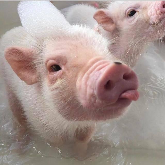 การเลี้ยงหมูแคระ คือ การอาบน้ำให้กับหมูแคระ เพราะมันชอบการขุดคุ้ยดิน