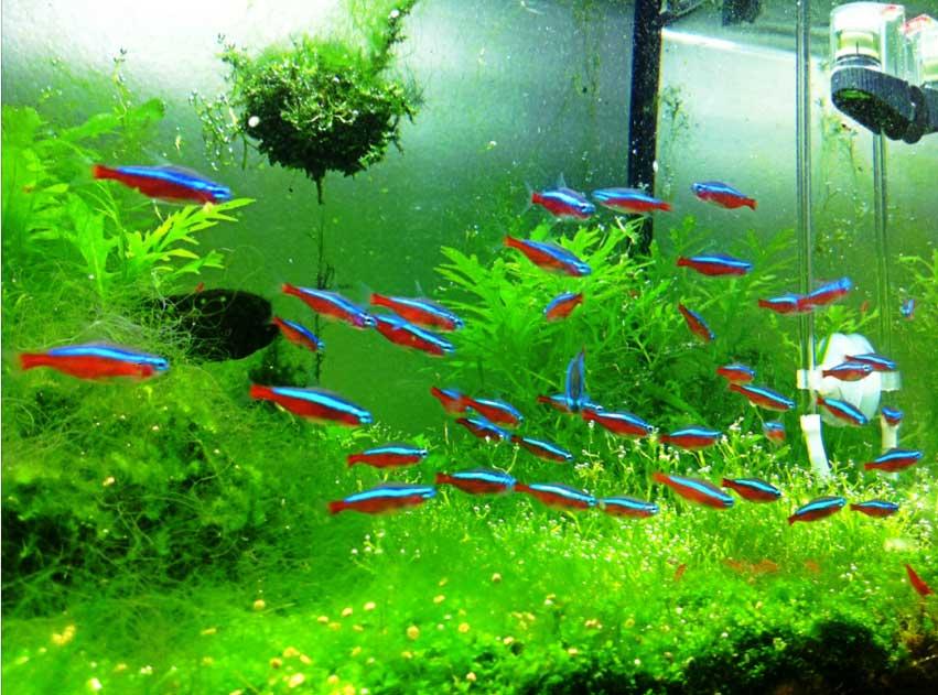 การเติบโตของ ปลานีออน จะไม่ใหญ่มากเหมือนปลาชนิดอื่นๆ การเลี้ยงปลานีออน ยิ่งมีไฟเพิ่มให้มันก็ยิ่งทำให้มันมีสีสันที่สวยงาม