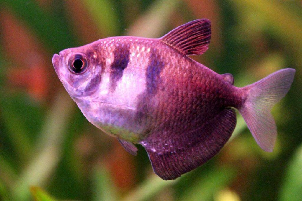 การเลี้ยงปลาเสือเยอรมัน เพราะปลานั้นมีสีสันที่ดูสวยงาม และต้องเลี้ยงเป็นฝูง