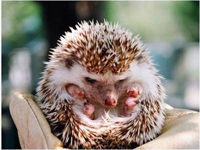 การเลี้ยงเม่นแคระ สัตว์เลี้ยงสุดน่ารัก วิธีสามที่แอดอยากจะแนะนำ คือ เล็บ ให้ใช้กรรไกรตัดเล็บ