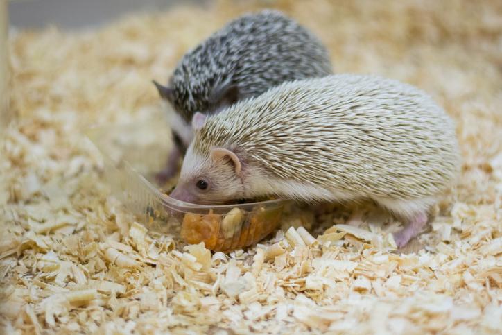 การเลี้ยงเม่นแคระ สัตว์เลี้ยงสุดน่ารัก วิธีแรกที่แอดอยากจะแนะนำ คือ อาหาร ผักผลไม้ที่เราต้องนำไปหั่นให้เป็นชิ้นเล็กๆ
