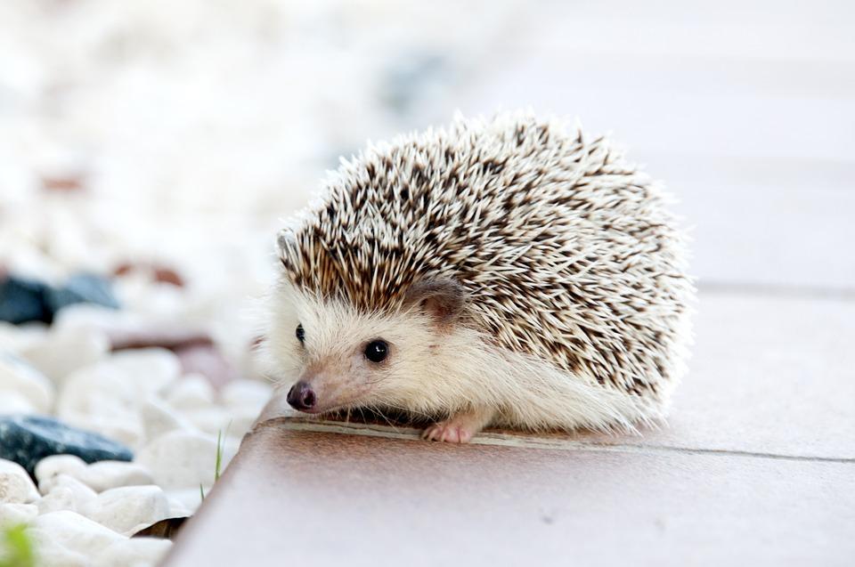 การเลี้ยงเม่นแคระ สัตว์เลี้ยงตัวเล็กสุดน่ารัก
