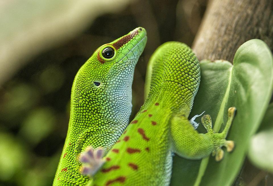 จิ้งจกเขียวมาดากัสการ์ สัตวเลี้ยงแปลก