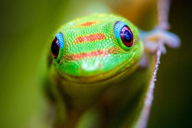 จิ้งจกเขียวมาดากัสการ์ เป็นสัตว์ชนิดเลี้ยงง่าย เหมาะกับการเลี้ยงในอากาศบ้านเราได้เป็นอย่างดี