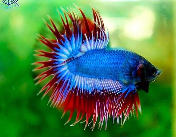 ปลากัด ปลาที่มีสีสันสวยงาม