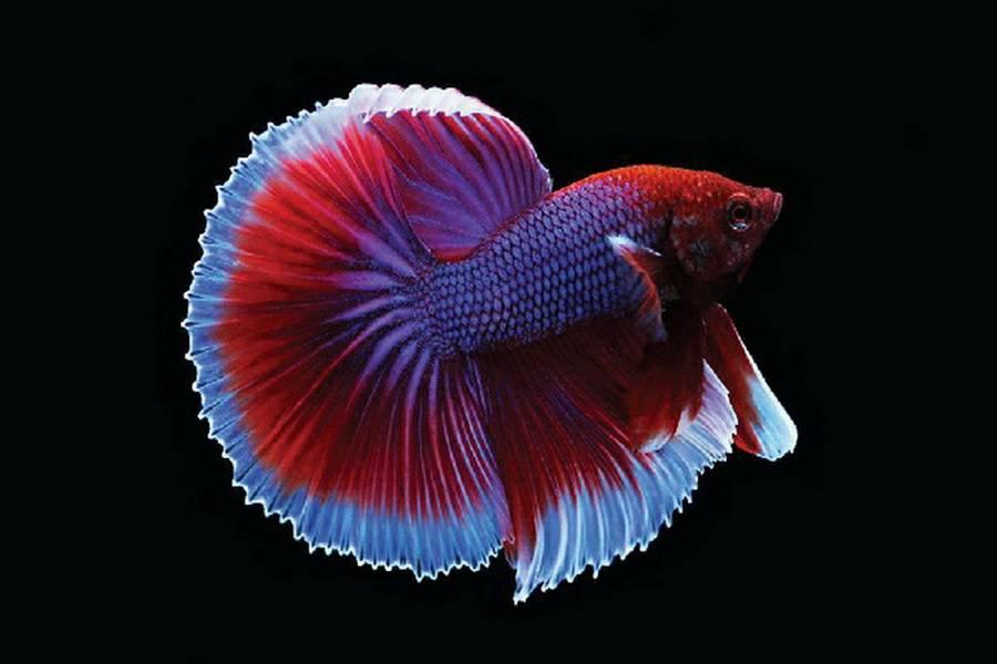 ปลากัด ที่มีสีสวยงาม แล้วยังมีราคาที่แพงแสนแพงอีกด้วย