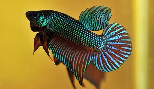 ปลากัด มีสีที่ตัวมีสีหลายสี โดยจะเป็นสีที่มีหลายสีในตัวเดียวมองดูแล้วสวยงามมาก