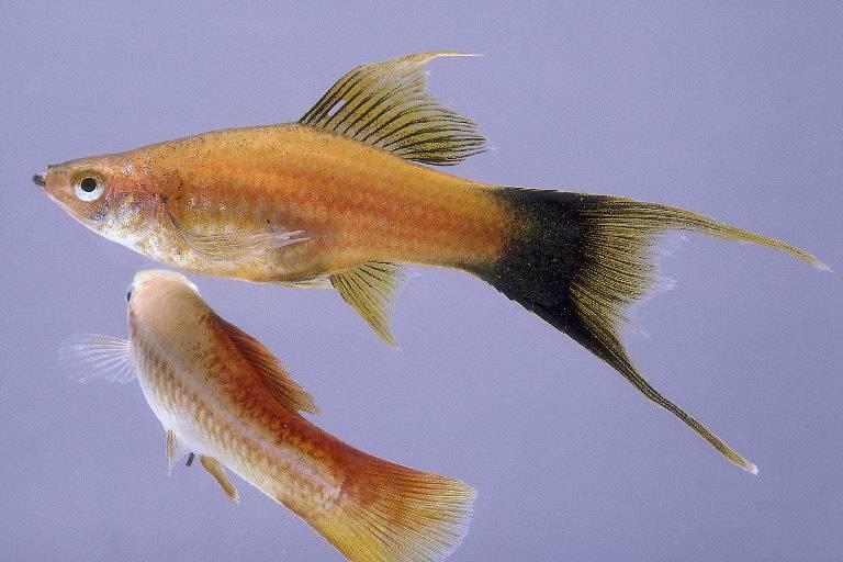 ปลาสอดหางดาบ หางมีลักษณะที่ยาวคล้ายๆกับดาบ มีความเรียว ยาว และแหลม