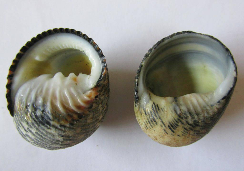 ปูเสฉวน มีลักษณะพิเศษอย่างที่บอกว่ามันจะมีเปลือกหอยเป็นที่หลบภัย