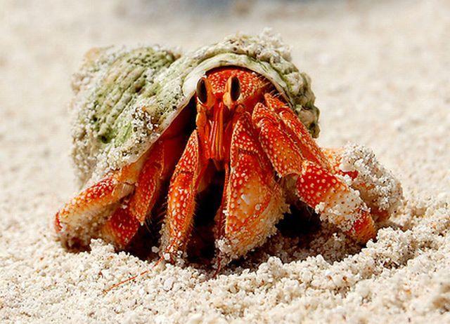 ปูเสฉวน เป็นสัตว์ทะเล ที่อาศัยตามธรรมชาติเป็นหลัก