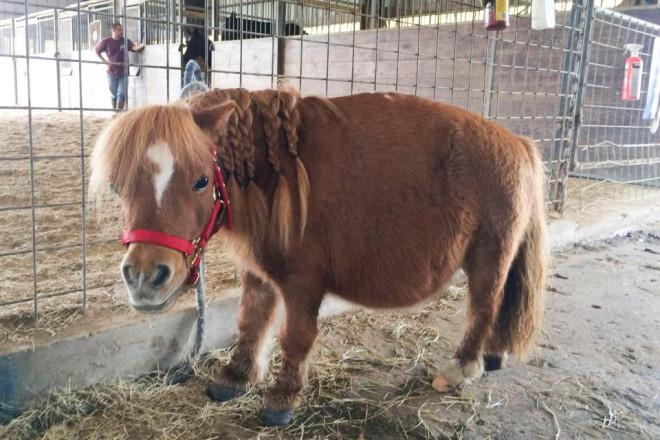 สัตว์เลี้ยงไซส์เล็ก แต่น่ารักมาก ชนิดที่สองแอดอยากจะมาแนะนำ คือ                                                          ม้าแคระจิ๋ว Thumbelina horse เป็น สายพันธุ์ที่เกิดจากการผสมเพาะพันธุ์ใหม่