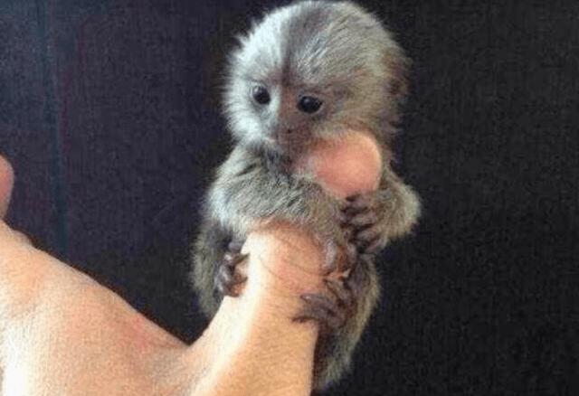 สัตว์เลี้ยงไซส์เล็ก แต่น่ารักมาก ชนิดแรกที่แอดอยากจะมาแนะนำ คือ ลิงแคระ Pygmy marmoset เป็นสายพันธุ์ของลิงที่มีขนาดเล็กที่สุดในโลก