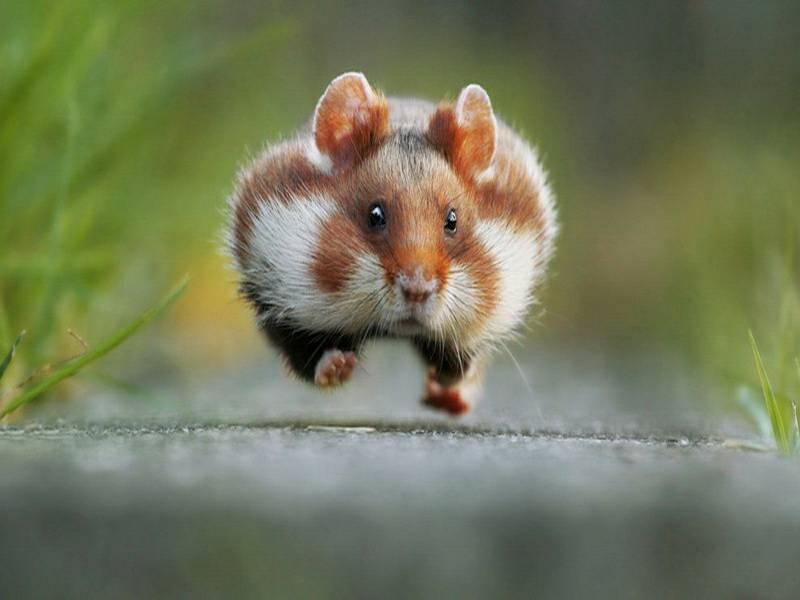 หนูแฮมสเตอร์ นั้นวิ่งเร็วพอๆกับหนูประเภทอื่นๆเลย ฉะนั้น คนเลี้ยงจึงมักจะมีกรงกว้างๆไว้สำหรับให้มันอยู่
