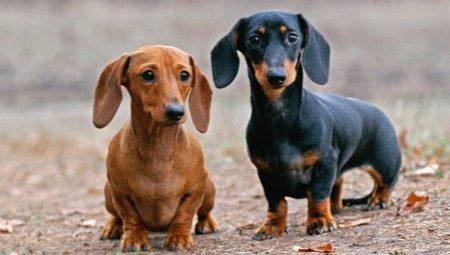สุนัขสายพันธุ์ดัชชุน เป็นสุนัขที่อ้วนง่ายหากกินมากจนเกินไปฉะนั้นผู้เลี้ยงต้องใส่ใจ