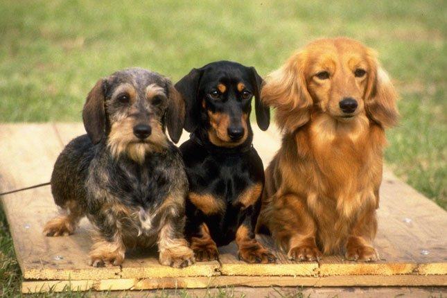 สุนัขสายพันธุ์ดัชชุน สุนัขตัวเตี้ยยาว
