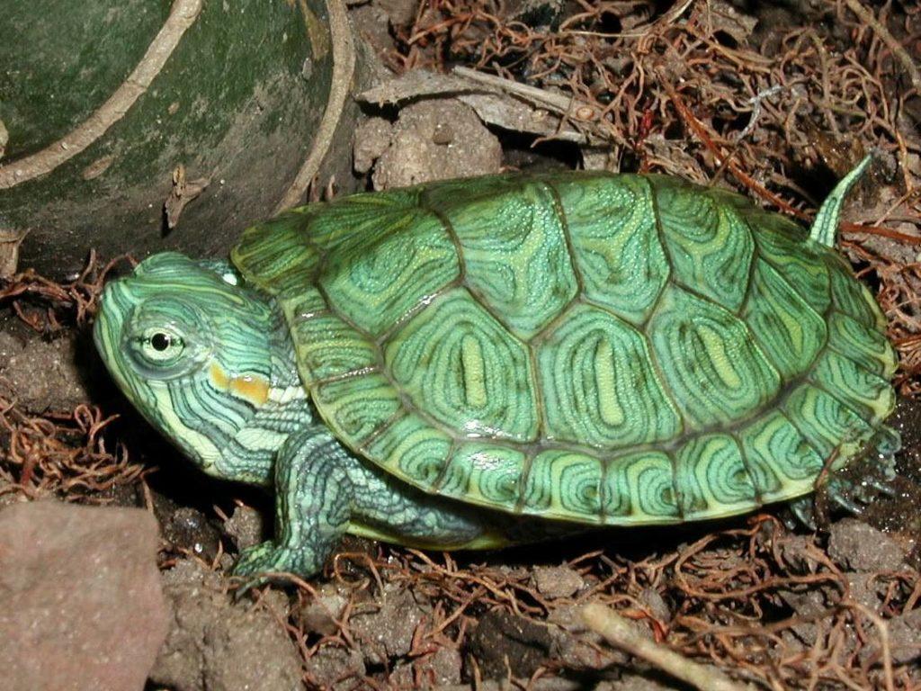 เต่าที่นิยมเลี้ยงไว้อีกประเภทหนึ่งที่สีสันนั้นสะดุดตาเป็นอย่างมาก นั่นคือ เต่าญี่ปุ่น