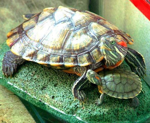 เต่าญี่ปุ่น เต่าสีสันสะดุดตา