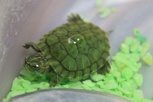 เต่าญี่ปุ่น เป็นเต่าที่มีสีสันลวดลายและตัวเล็ก และมีนิสัยที่ค่อนข้างจะดุ