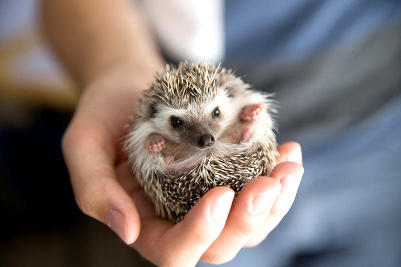 สัตว์เลี้ยงยอดนิยมของคนญี่ปุ่น ที่ชาวญี่ปุ่นเลี้ยงไว้ในบ้าน ชนิดที่สามที่แอดอยากจะมาแนะนำ คือ เม่นแคระ เป็นอีกสัตว์เลี้ยงที่มีความน่ารัก