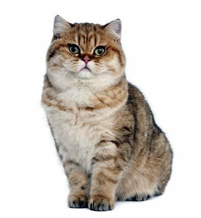 แมวสายพันธุ์บริติชช็อตแฮร์ จะเป็นแมวที่มีความฉลาด และมีความแข็งแรงของกล้ามเนื้อในทุกๆส่วนของร่างกาย