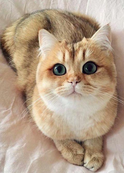 แมวสายพันธุ์บริติชช็อตแฮร์